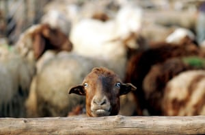 Shepherds: a sheep is pictured in a pen on the outskirts of the northern West Bank