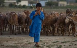 Shepherds: A Pakistani shepherd escorts his herd