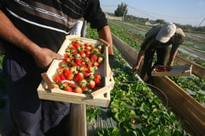 Gaza life: Strawberries in Beit Lahia.