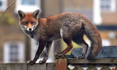 Urban fox in west London