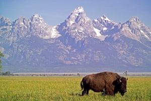 Week in Wildlife: Legislation Moves To Make Bison Country's National Mammal