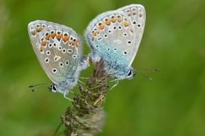 Week in Wildlife: Two Silver-studded Blue butterflies (Lycaeninae Idas)  in Lofer, Salzburg