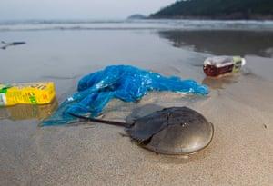 Week in Wildlife: A horseshoe crab scuttles past plastic on Big Wave Bay beach, Hong Kong