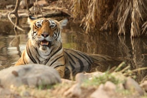 Week in Wildlife: A tiger rests in a pond in Rathambhore Tiger Reserve in India
