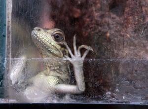 Week in wildlife: Returned smuggled Philippine Sailfin Lizards