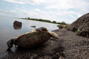 Week in wildlife: A dead tortoise is seen near the shores of Lake Xolotlan in Managua