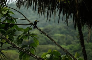Week in wildlife: Toucan rests on a branch in the Braullio Carrillo National Park