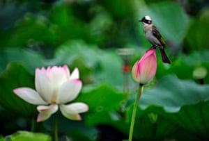 Week in wildlife: a bird resting on a lotus flower
