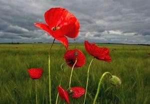 Week in wildlife: Poppyseed flowers