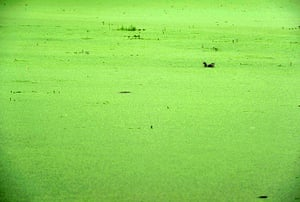 Week in wildlife: #CHINA-NANJING-YUEYA LAKE-DUCKWEED (CN)