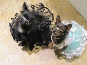 Japanese pet dogs: Dogs wearing designer tutus and sunglasses