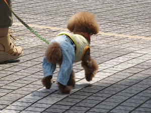 Japanese pet dogs: A dog wearing jeans and a vest