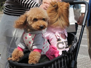 Japanese pet dogs: Dressed up dogs in Japan