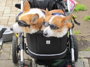 Japanese pet dogs: Two dogs in a buggy