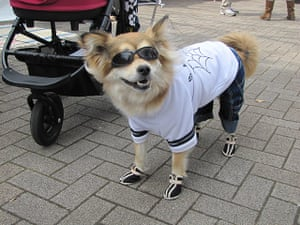 Japanese pet dogs: A dog wearing shoes, sunglasses, a T-shirt and jeans