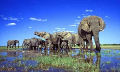 African elephant (Loxodonta africana), herd in pond, largest terrestrial animal, Namibia, Etosha NP