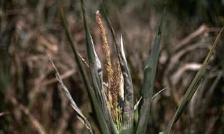 Drought corn plant Iowa
