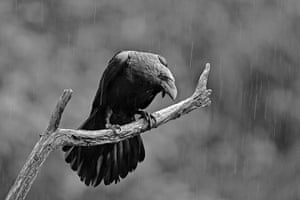 RPS print exhibition: Rain Raven. The image was taken from a hide at Aloos in the French Pyrenees