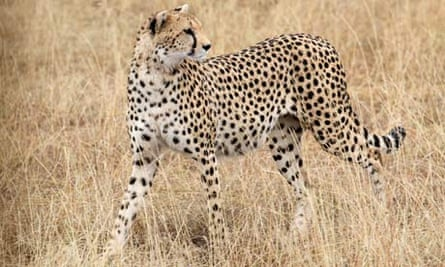 A cheetah in Ol Kinyei Conservancy, Kenya