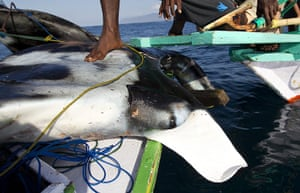 Manta Ray: driven to extinction by Chinese medicine demand