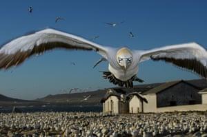 Eyewitness extra: Cape gannet