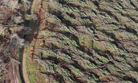 Landes forest replant