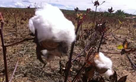cotton brazil