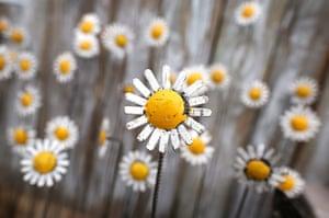 Hampton Court flower show: Metal sculptures of daisies