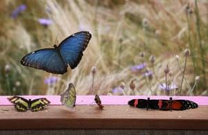 Hampton Court flower show: Butterflies rest in the window of 'The Mariposas'