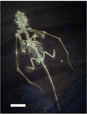 UV Bellubrunnus