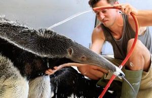 Picture desk live: Anteater Ilse gets a shower from Zookeeper