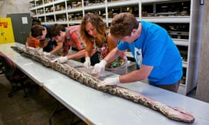 Huge python is examined in Florida by scientists