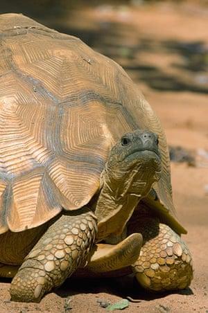 Endangered Species: Ploughshare Tortoise