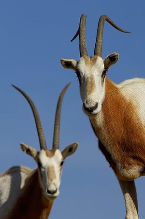 Endangered Species: Scimitar-horned Oryx (