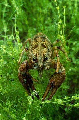Endangered Species: White clawed crayfish, Austropotamobius pallipes