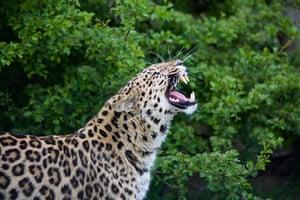 Endangered Species: Profile Photo of snarling Amur Leopard