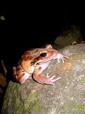 Endangered Species: Mountain chicken frog