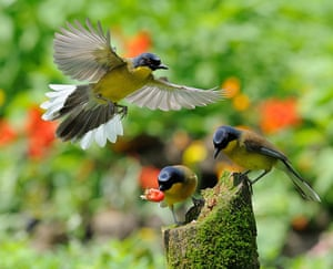 Endangered Species: Blue-crowned thrushes