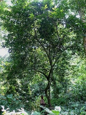 Endangered Species: Verdcourt's polyalthia tree