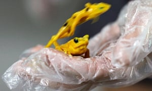 Two Panamanian Golden frogs are seen on biologist Heidi Ross' hand during the Golden Frog Day in the Nispero Zoo at the Valle de Anton in Panama. The Golden frog (Atelopus zeteki) is one of Panama's national symbols.