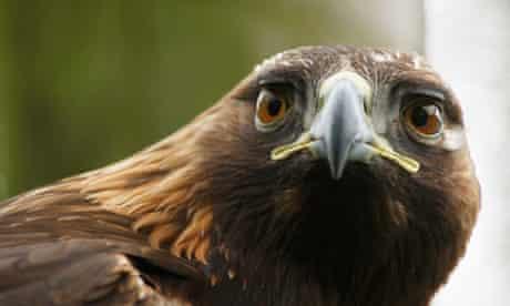 Golden Eagles on Mull