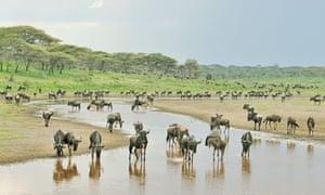 Migrating wildebeest in the Serengeti, Tanzania