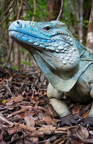 Week in wildlife: Free-roaming adult male blue iguana