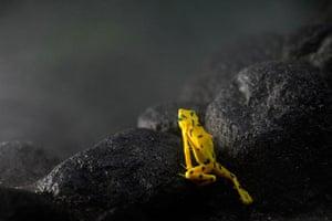 Week in wildlife: A Panamanian Golden frog