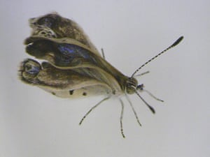 Week in wildlife: Severe mutations found in Fukushima butterflies