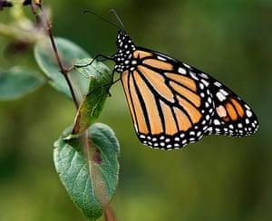 Week in wildlife: A monarch butterfly