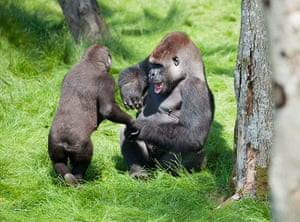 Week in wildlife: The touching reunion of two Gorilla brothers