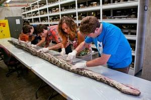 Week in wildlife: The largest Burmese python found in Florida