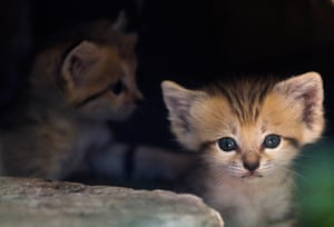 Week in wildlife: A sand kitten sits at her enclosure at the Ramat Gan Safari near Tel Aviv