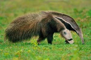 Week in wildlife: Giant Anteater Searching for Termites